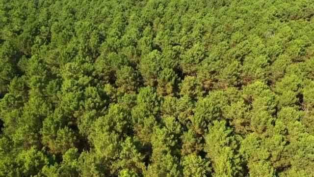 Kocaeli ormanlarından elde edilen çam reçinesi ekonomiye katkı sağlıyor