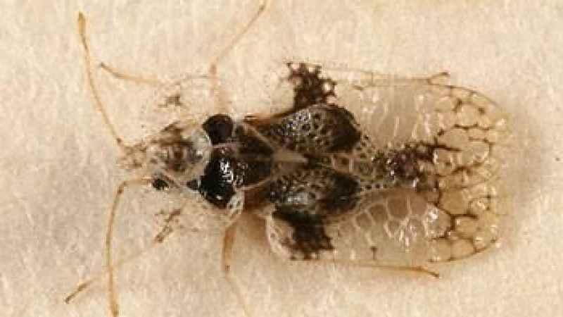 Kocaeli'nin bir ilçesini 'dantel böceği' sardı!