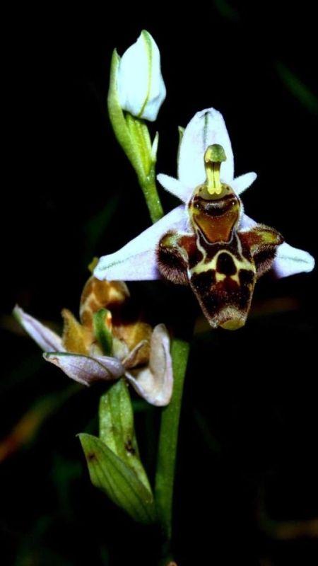 Latmos'ta endemik orkide talanı!