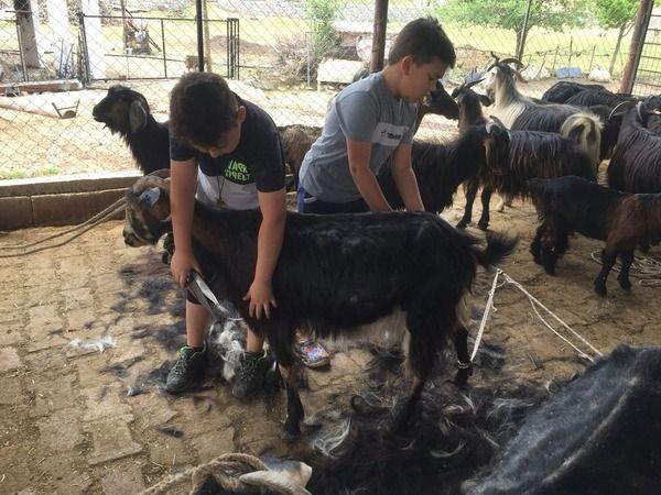 Milaslı Yörükler keçilerini yaz mevsimine hazırlıyor