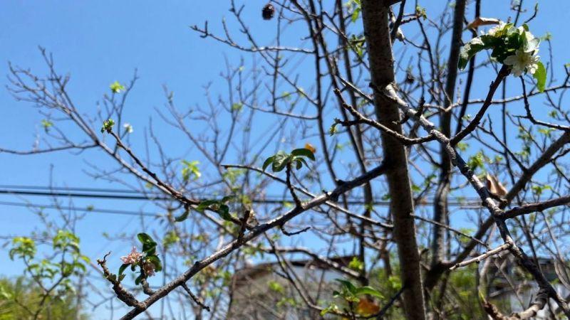 Temmuz ayında erik ağacı çiçek açtı