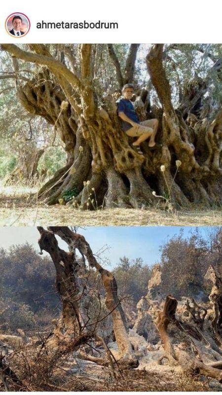 2500 yıllık zeytin ağacı küle döndü