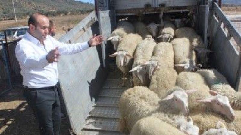 Avrupa'ın en  verimli koyunları Milasımızda