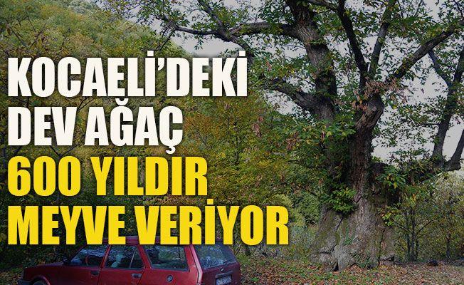 Kocaeli'deki dev ağaç 600 yıldır meyve veriyor