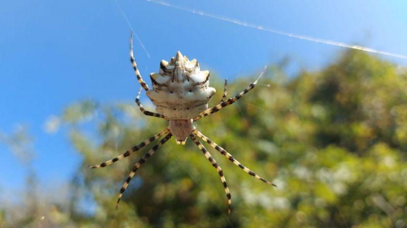 """Samsun'da  """"argiope lobata"""" örümceği görüntülendi"""