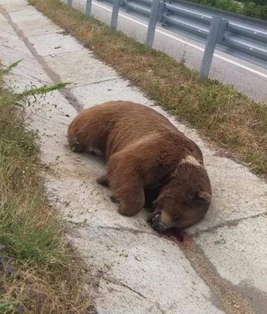 Yolda boz ayı ölüsü bulundu