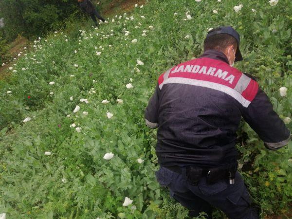 Sakarya'da yasadışı ekilen 6 bin 785 kök haşhaş ele geçirildi
