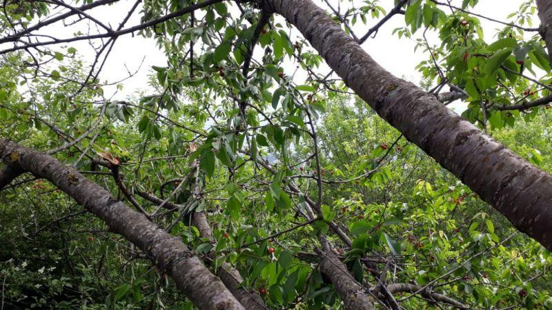 Aç kalan ayılar, kiraz ağaçlarına dadanınca çiftçiler zarar etti