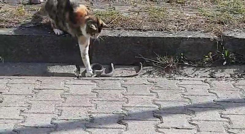 Kediyle yılanın kavgasında pes eden yılan oldu