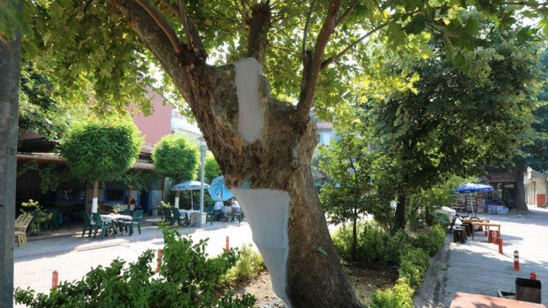 Kocaeli Haber - Asırlık çınar ağaçlarının bakımı ve tedavisi yapıldı