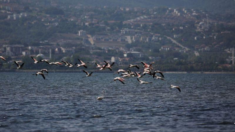 Kocaeli Haber - İzmit Körfezi'nde Flamingolardan Görsel Şölen