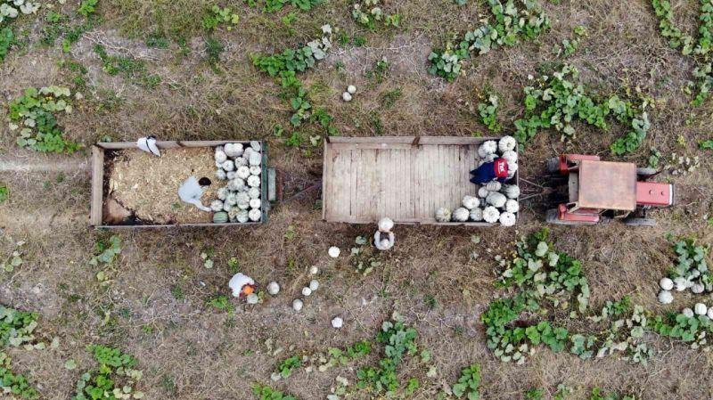 Meşhur Sakarya kabağının hasadı başladı