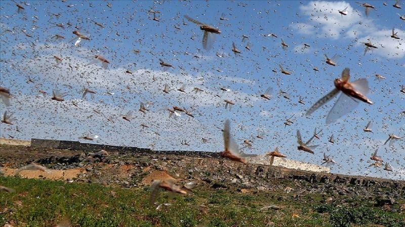 Tanzanya'da çekirge istilası nedeniyle tarım arazileri zarar gördü