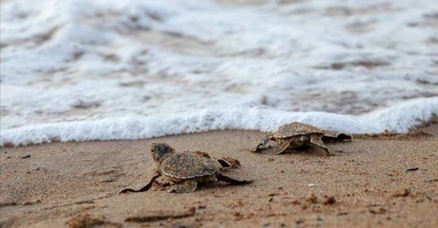 KKTC'de kaplumbağa yavruları denizle buluştu