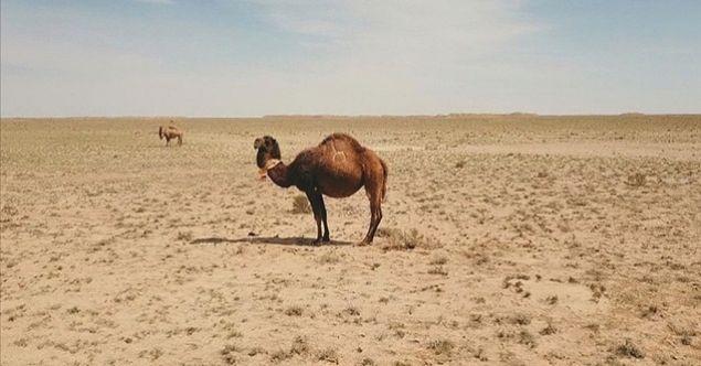 Kazakistan'daki kuraklık binlerce hayvanı telef etti