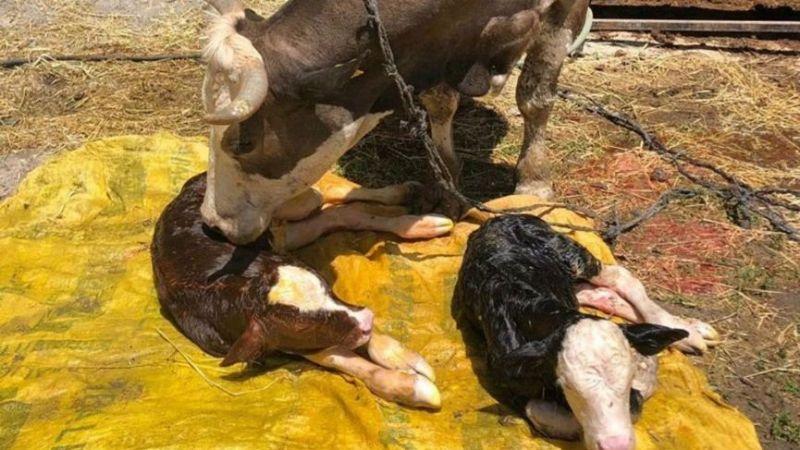 Denizli'de bir inek, iki farklı cinste buzağı doğurdu