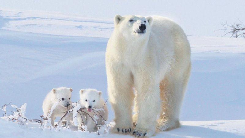 Buzullardaki erime, kutup ayılarının genetik çeşitliliğini tehdit ediyor