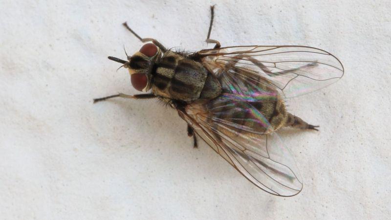 İstanbul'da kan emici sinek alarmı: Baldırsokan İstanbul'da