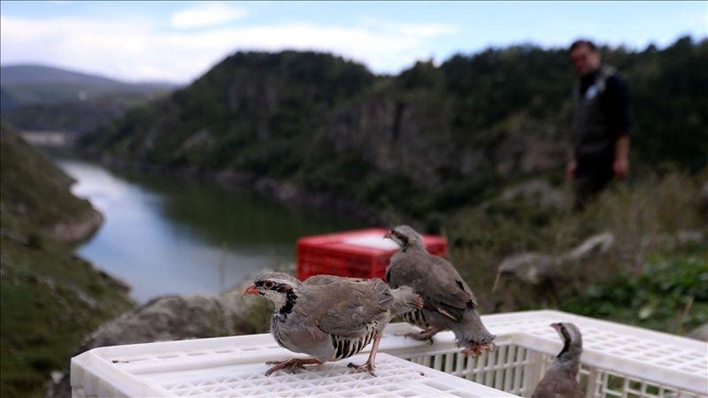 Sesi ve ötüşüyle meşhur 400 Kınalı Keklik doğal ortamına salındı
