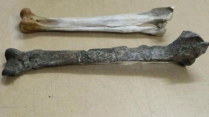 27 milyon yıllık penguen fosili bulundu