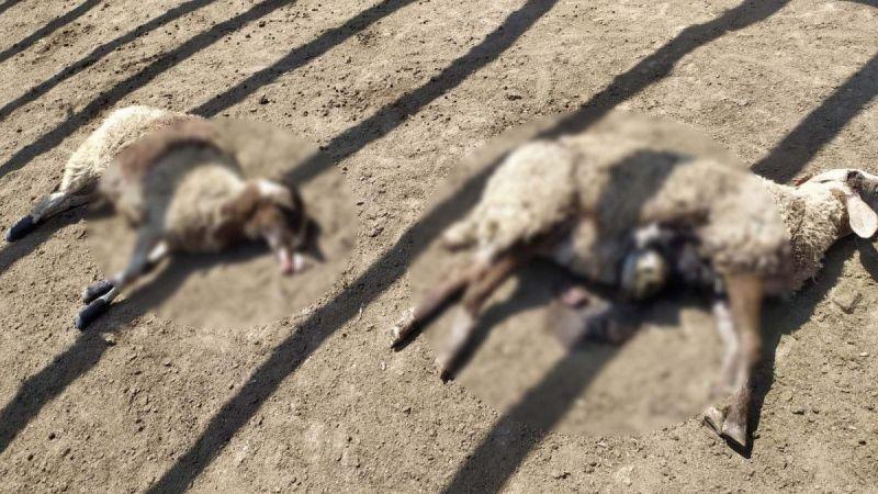 Ağıla saldıran ayı, 25 koyunu telef etti