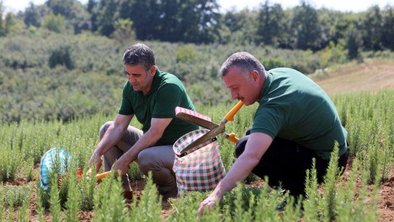 Kocaeli'de 2.6 milyon biberiyenin hasadına başlandı