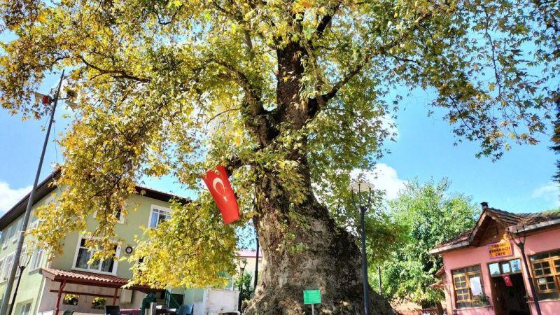 1231 yıllık anıt çınar ağacı, köylünün kliması oldu