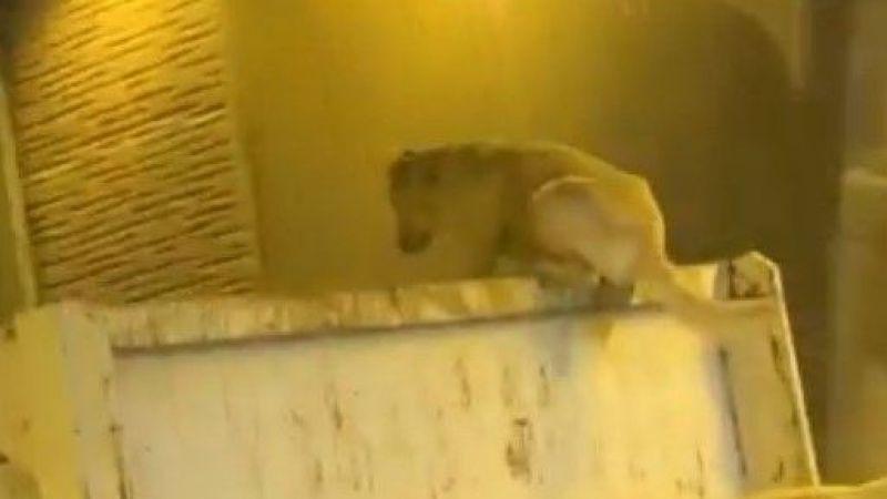 Kamyon üzerinde seyahat eden köpek şoke etti
