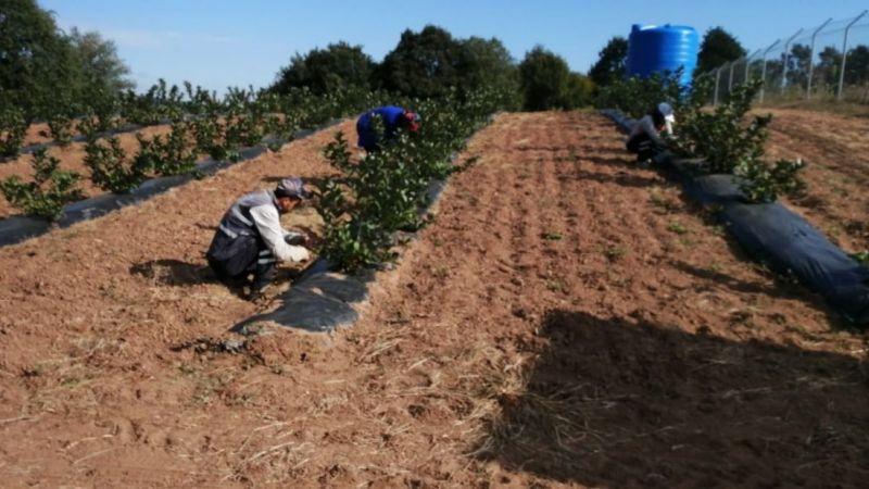 İzmit Belediyesi çiftçilere aronya fidanı dağıtacak