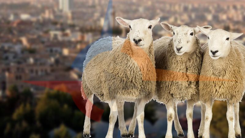 Şanlıurfa'daki koyun sayısı açıklandı!