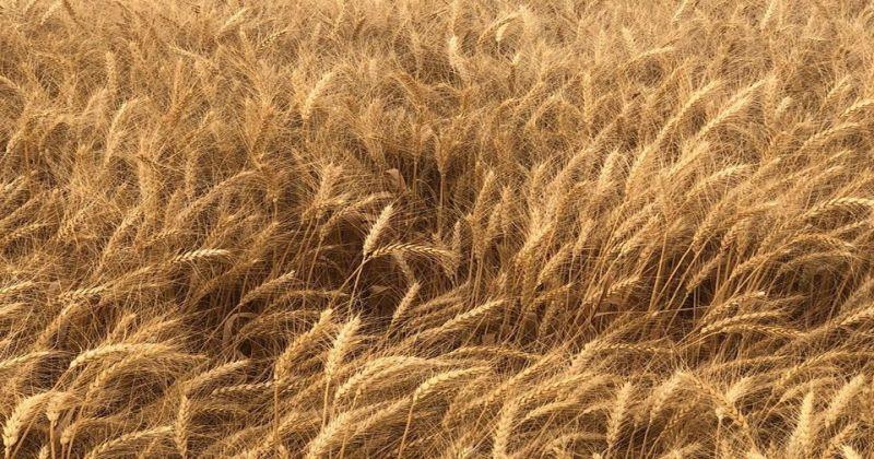 Sivas, ekmeklik buğday üretiminde 5'inci sırada