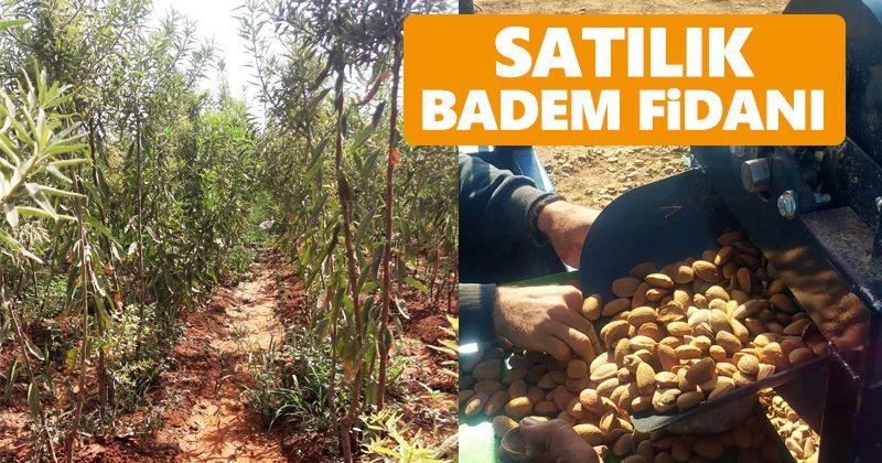 Aşılı Badem Fidanı