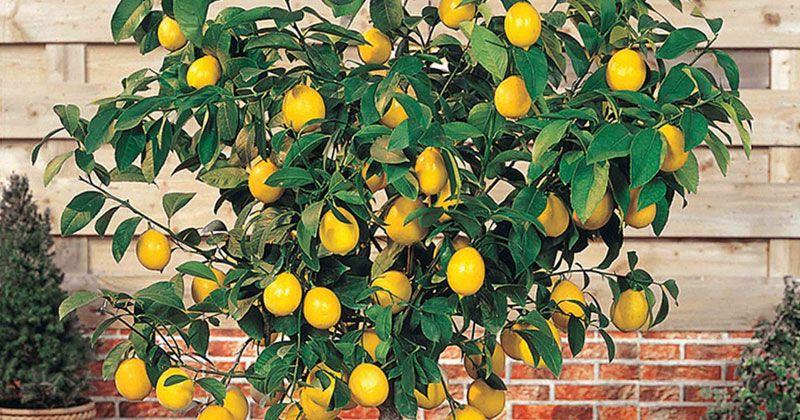 Evde Limon Ağacı nasıl bakılır?