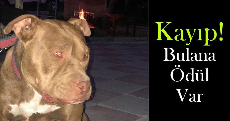 Karaman'da Kayıp Köpek Aranıyor