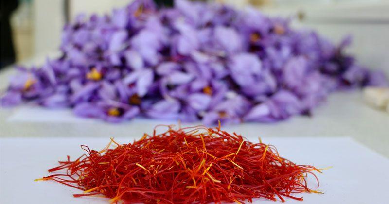 The harvest of the registered saffron