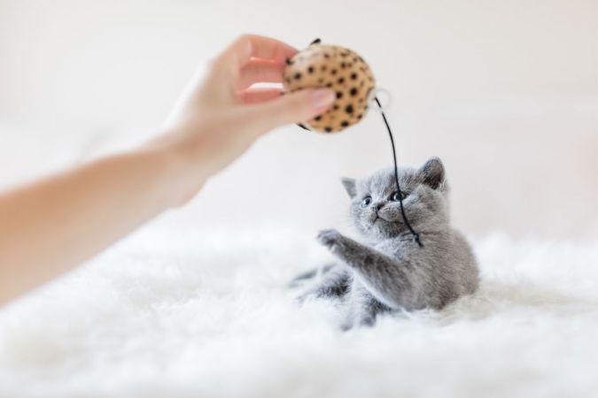 Büyümeyen Kedi Cinsleri ve Özellikleri