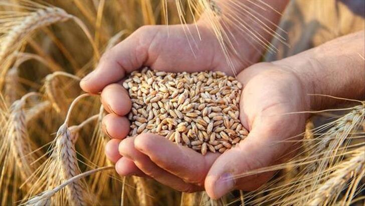 Sert Buğdayın Kilosu