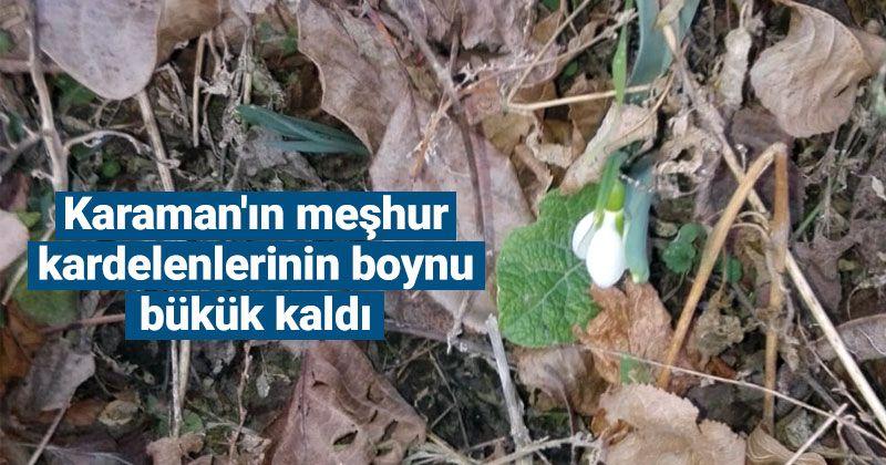 Karaman'ın meşhur kardelenlerinin boynu bükük kaldı