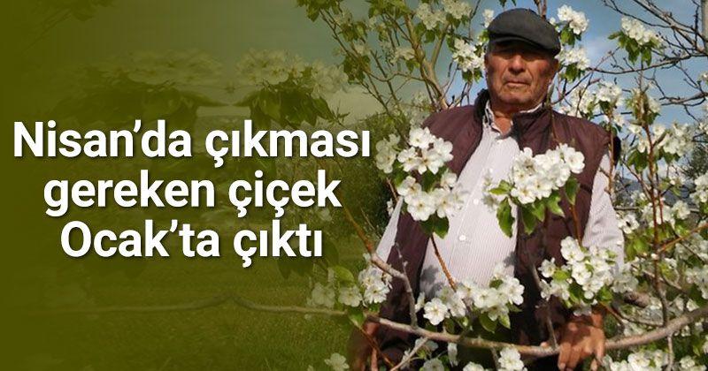Mut'ta armut ağacı çiçek açtı