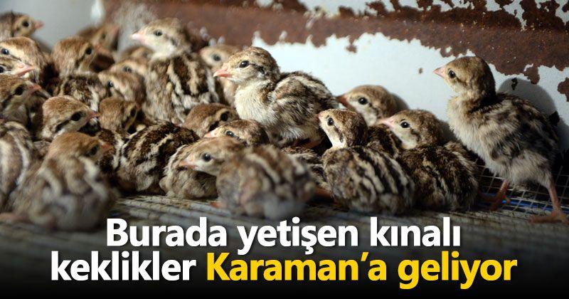 Kahramanmaraş'ta yetişen kınalı keklikler Karaman'a geliyor