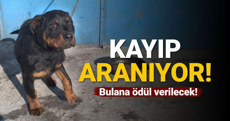 Karaman'da kaybolan köpek aranıyor