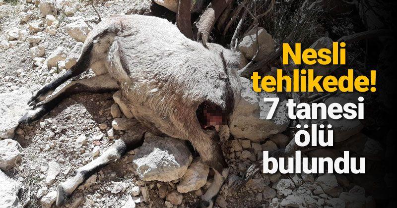 Nesli tehlike altında bulunan 7 yaban keçisi ölü bulundu