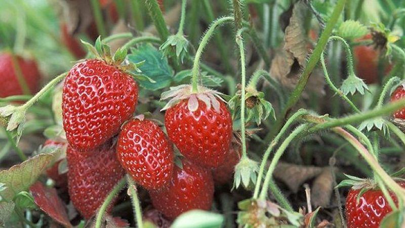 Topraksız tarımla yıl boyunca taze çilek ihracatı gerçekleştiriliyor