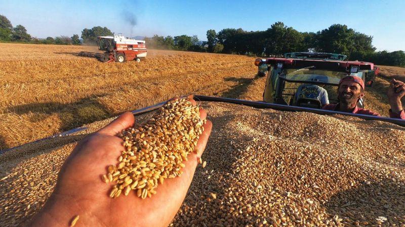 Çiftçiler buğday hasadına başladı