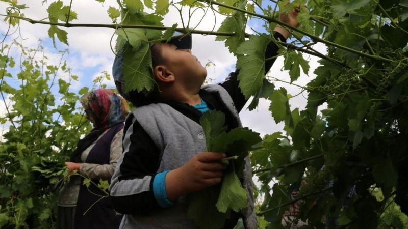 Hadim'de çiftçilerin üzüm yaprağı mesaisi başladı