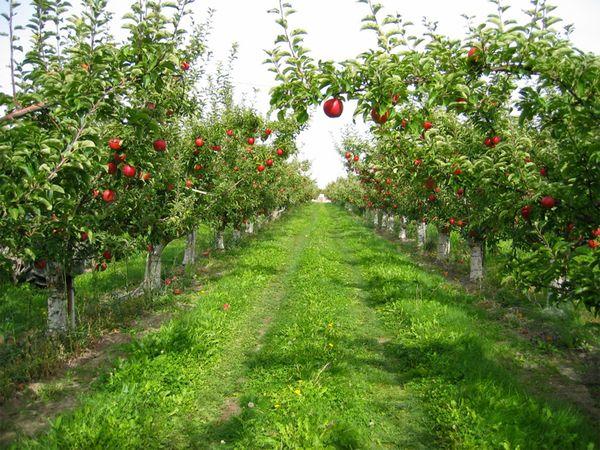 Karaman'da 20.399 m² elma bahçesi icradan satılık