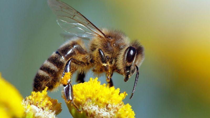 Güney Afrika'da arılar arasında yeni bir hastalık yayılıyor
