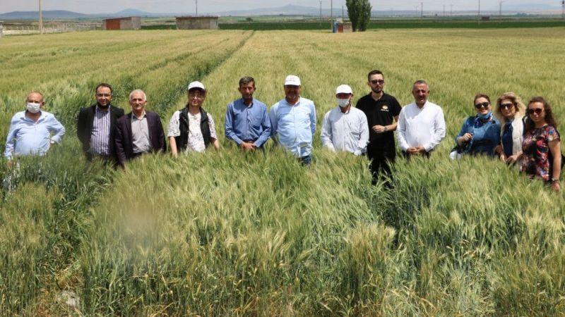 Yerli buğdaydan 2 kat fazla verim bekleniyor