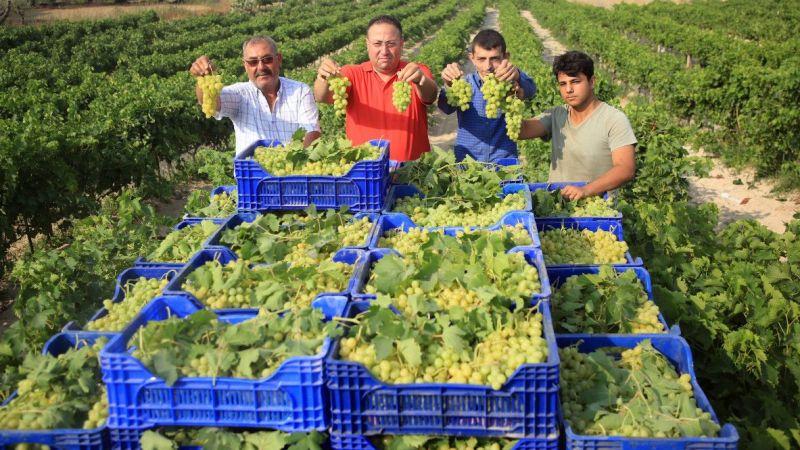 Mersin'de hasadına başlanan erkenci üzüm, verimiyle üreticiyi sevindirdi