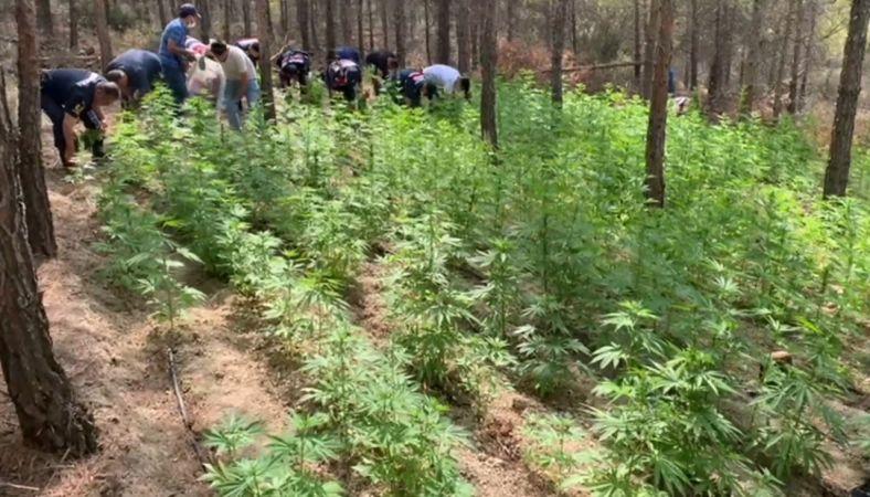 Mut'ta 8 bin 478 kök kenevir bitkisi ele geçirildi